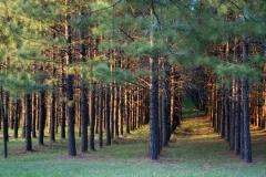 nuheart pine tree