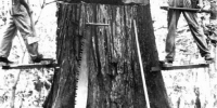 Old-cypress-logging