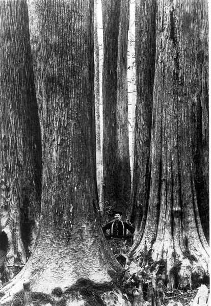 Mattoon's Southern Cypress Last Record of Virgin-Growth Cypress Forests in Louisiana, 1915