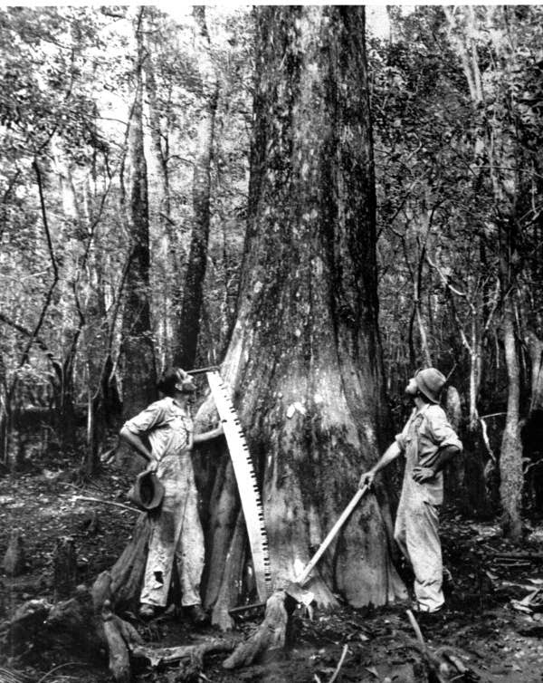 Cypress Harvesting in the South 1700-1960, Part 1
