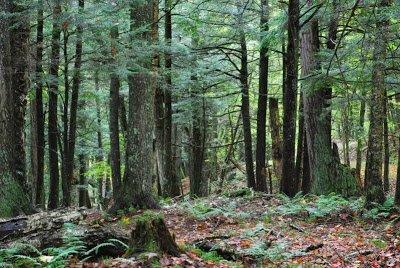 virgin growth forest